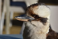 Closeup av en skrattfågel arkivfoton