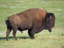 Closeup av en stor manlig buffel eller bison, arkivfoton