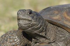 Closeup av en utsatt för fara goffersköldpadda arkivbilder