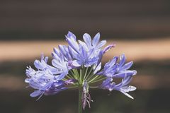 Closeup av en violett blomma Royaltyfri Foto