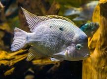Closeup av en vit cichlid, tropisk fisk fr?n den atlantiska lutningen av Amerika royaltyfri bild