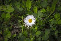 Closeup av en vit tusensköna (Bellisperennis) Fotografering för Bildbyråer