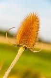 Closeup av en Wild Teasel Royaltyfria Bilder