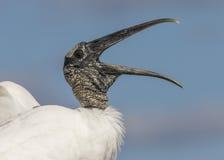 Closeup av en Wood stork som kallar - Florida royaltyfri bild