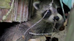Closeup av ett behandla som ett barntvättbjörnnederlag i sidor stock video
