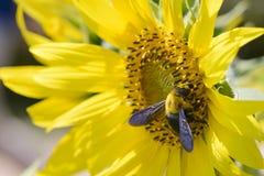 Closeup av ett bi på en solros Arkivfoto