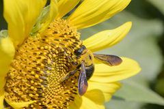 Closeup av ett bi på en solros Fotografering för Bildbyråer