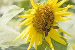 Closeup av ett bi på en solros Arkivfoton