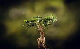 Closeup av ett bonsaiträd, på naturlig bakgrund arkivfoto