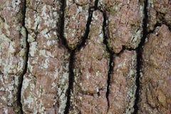 Closeup av ett brunt trädskäll arkivbilder