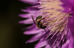 Closeup av ett guld- honungbi som pollinerar en blomma i garde Royaltyfria Bilder