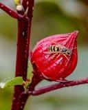 Closeup av ett gult getingsammanträde på en stor ljus röd hibiskusblommaknopp arkivbild
