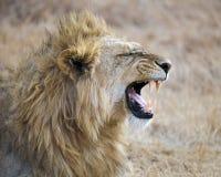 Closeup av ett lejonhuvud i den Ngorongoro krater Arkivbild