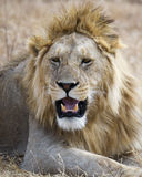 Closeup av ett lejonhuvud i den Ngorongoro krater Royaltyfri Bild