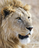 Closeup av ett lejonhuvud i den Ngorongoro krater Royaltyfri Foto