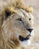 Closeup av ett lejonhuvud i den Ngorongoro krater Arkivbilder
