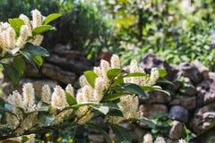 Closeup av ett träd av körsbärsrött lager i blom royaltyfri fotografi