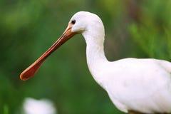 Closeup av Eurasianspoonbillen Arkivfoto
