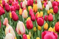 Closeup av färgglade tulpanblommor fotografering för bildbyråer