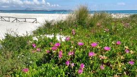 Closeup av för Hottentot-fikonträd för Carpobrotus Edulis blommor fuchsia på den vita sanden av den Budoni stranden i Sardini royaltyfri fotografi