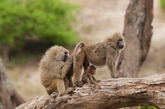 Closeup av familjen av Olive Baboons Fotografering för Bildbyråer