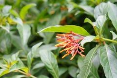 Closeup av firebush: buske i florida arkivbild