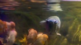 Closeup av framsidan av en silverarowana, tropisk lång fisk som simmar i vattnet, populärt dekorativt akvariumhusdjur royaltyfri fotografi
