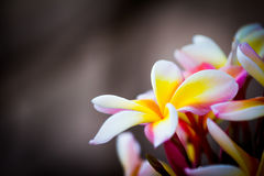 Closeup av frangipanien, Lantom, plumeriablomma Royaltyfri Bild
