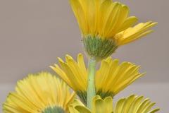 Closeup av fyra underbara gula tusenskönor i en trädgård i Tyskland Fotografering för Bildbyråer