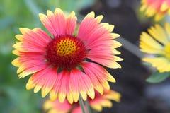 Closeup av Gaillardia för filtblomma Arkivfoto