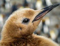 Closeup av ögat av fågelungen för konungpingvin (Aptenodytespatagonicusen) Arkivbild