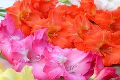 Closeup av gladiolusblomman royaltyfria bilder