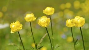 Closeup av globeflowers arkivfoto