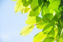 Closeup av gröna sidor Arkivfoton