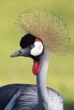 Closeup av Gray Crowned Crane fotografering för bildbyråer