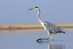 Closeup av Grey Heron som går på grunt vatten Arkivbild