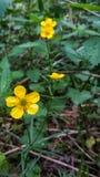 Closeup av gula blommor för en gemensam smörblomma i skogarna på bakgrund för grönt gräs Ranunculusacris fotografering för bildbyråer