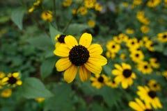Closeup av gula strålflorets som cirklar den svarta kotten av diskettflorets av rudbeckia Arkivbild