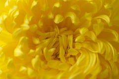 Closeup av gula thrysanthemums arkivfoto