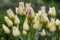 Closeup av gula tulpan med vit- och rosa färgband på suddig bakgrund Royaltyfria Bilder