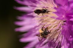 Closeup av guld- honungbin som pollinerar en blomma i en trädgård Arkivbilder