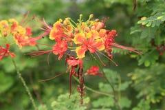 Closeup av Gulmohar blommor som är flam-boyant, flammaträdet eller Royaen Arkivbild