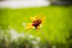 Closeup av härlig guling och röd blomma på trädgård Arkivfoto