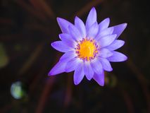 Closeup av härlig purpurfärgad lotusblomma i natur Royaltyfria Foton