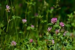 closeup av härliga purpurfärgade röda blommor med suddighetsbakgrund Fotografering för Bildbyråer