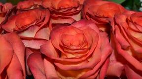 Closeup av härliga röda rosor Royaltyfri Bild