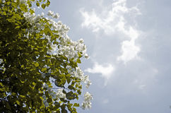 Closeup av härliga vita blommor Fotografering för Bildbyråer