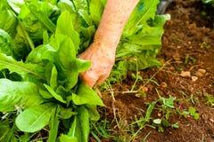 Closeup av handen för ` s för gammal kvinna som planterar grönsallat på jordningen i organisk trädgård för grönsaker Fotografering för Bildbyråer