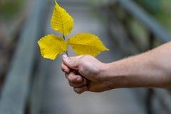 Closeup av handen som rymmer tre gula vanliga Aspen Leaves Isolated från bakgrund, abstrakt bakgrund med utrymme för text, royaltyfri foto
