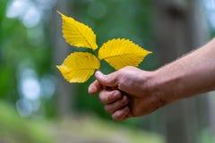Closeup av handen som rymmer tre gula vanliga Aspen Leaves Isolated från bakgrund, abstrakt bakgrund med utrymme för text, arkivfoton